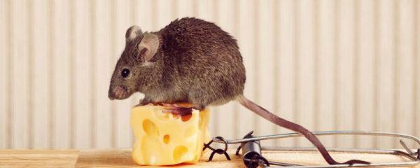 piéger un rat